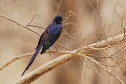 Bird called Meves Starling - Lamprotornis mevesii species of metallic colored bird in family Sturnidae, found in Angola, Botswana, Malawi, Mozambique, Namibia, South Africa, Zambia,  Zimbabwe.