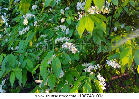 The Branch Of Bird Cherry Tree Prunus Padus Isolated On A