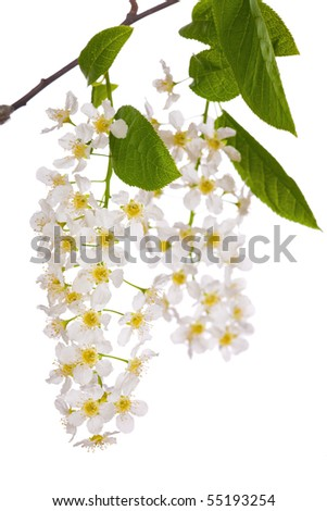 cherry tree branch. stock photo : bird cherry tree