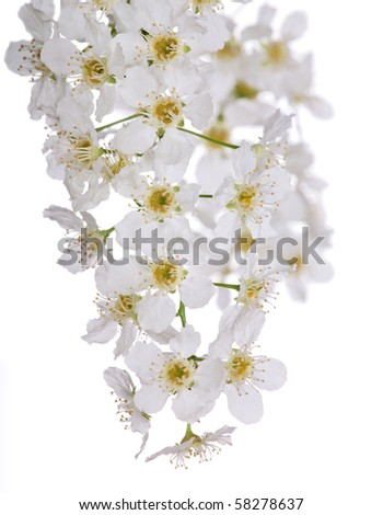 cherry tree branches. stock photo : bird cherry tree