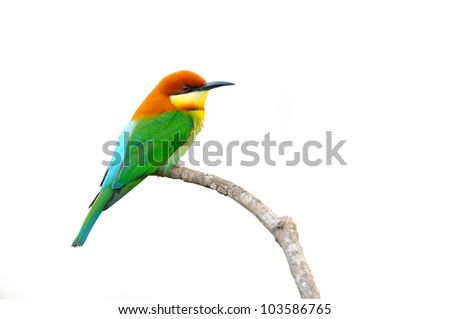 Bird (Chestnut-headed Bee-eaters) isolated on white background #103586765