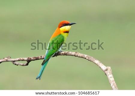 Bird (Chestnut-headed Bee-eaters) , Thailand