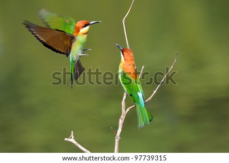 Bird (Chestnut-headed Bee-eaters) , Thailand - stock photo