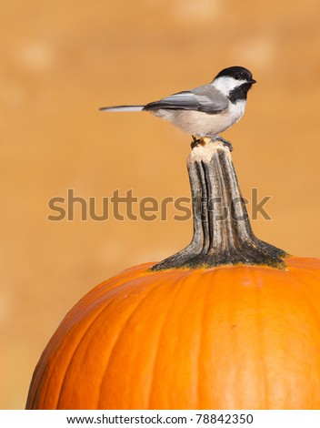 Bird, chickadee perched on a pumpkin in the autumn, attracted by peanut butter on  the stem, with copy space.