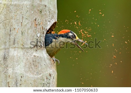 Bird cleaning nest hole. Woodpecker from Costa Rica, Black-cheeked Woodpecker, Melanerpes pucherani,  bird in the nature habitat, Costa Rica. Animal nesting behaviour.