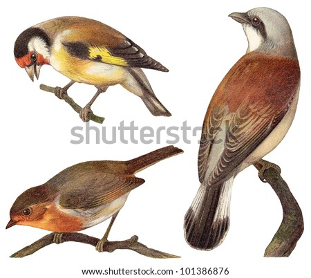 Bird collection - Goldfinch (Carduelis elegans), European Robin (Erithacus rubecula), Red backed Shrike (Lanius collurio) / vintage illustration from Meyers Konversations-Lexikon 1897