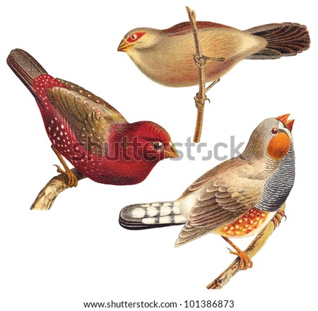 bird collection   red munia ...