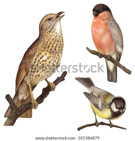 Bird collection - Redwing (Turdus iliacus), Bullfinch (Pyrrhula europaea), Great Tit (Parus major) / vintage illustration from Meyers Konversations-Lexikon 1897