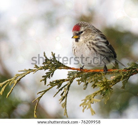 Bird, Common Redpoll, female,  perched on a branch in the winter with bokeh.
