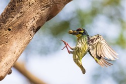 Bird (Coppersmith barbet, Crimson-breasted barbet, Coppersmith, Megalaima haemacephala) yellow, green and red color flying for feeding to baby bird at hollow tree trunk in a nature wild