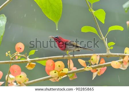 bird [ Crimson Sunbird ]  thailand