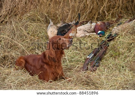 Bird dog resting after the hunt beside a shotguns and pheasants in front of a hay, horizontal