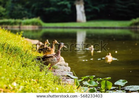 Bird duck, mallard. Wild nature. Animal with feather wings. Beautiful wildlife. Green color water background.