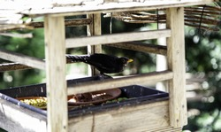 Bird eating kennel seeds, animals in freedom, birds