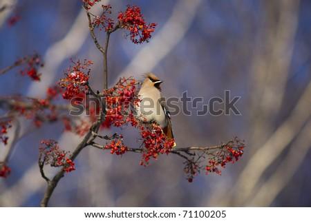 bird eats berries in nature