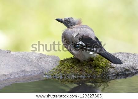 bird eurasian Jay specie Garrulus glandarius taking bath in a pound