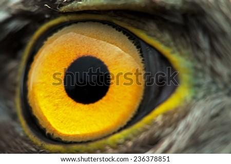bird eye close-up, macro effect photo of Sparrow Hawk (Accipiter nisus)