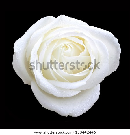 bird eye view of white rose on black #158442446