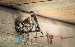 Bird family at nest. Feeding small birds, newborns. Swallow protecting newborn birds inside barn.