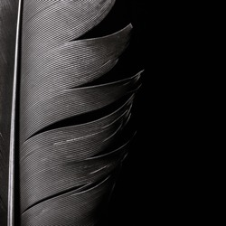 Bird feather texture, close-up on black isolated background.