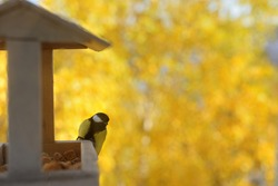 Bird feeder outside the window against a background of bright yellow birch leaves. The tit sits on the feeding trough. animal and Birds care concept.
