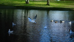 Bird feeding at a lake in Vienna, Austria. Seagulls and duck getting fed by people in a park.
