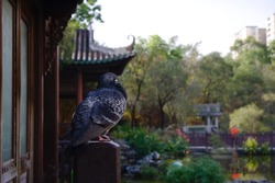 Bird, Feral Pigeon, standing and sleeping in a Chinese style park in Hong Kong