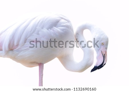 Bird flamingos standing isolated on pink background