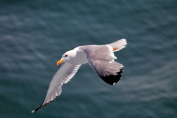 Bird flies over the sea. Flying seagulls, top view silhouette. Seagulls hover over deep blue sea.