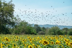 Bird flock flying in the blue sky over  yellow sunflower field . Motion blur.