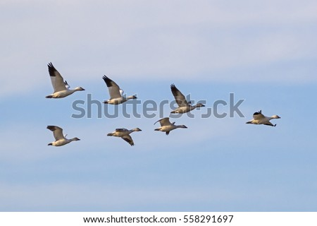 Bird flock of snow geese flying at Salton Sea preserve area in California