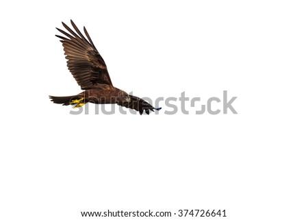 bird fly\nWestern Marsh Harrier / Circus aeruginosus