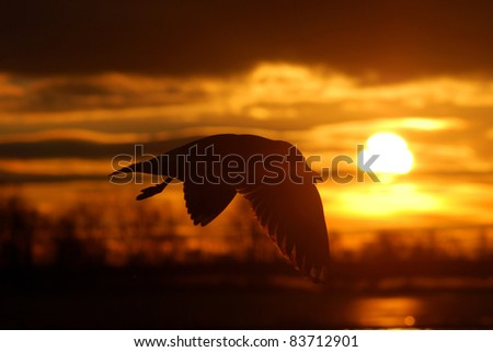 bird flying at the sunset