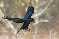 Bird - flying Black Common raven (Corvus corax). Winter. Halloween