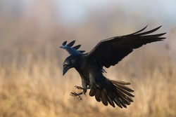 Bird - flying Black Raven (Corvus corax) in autumn time. Looking for something to eat.