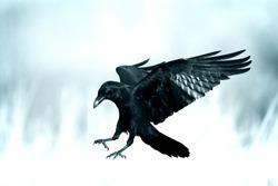 Bird - flying Common Raven (Corvus corax)