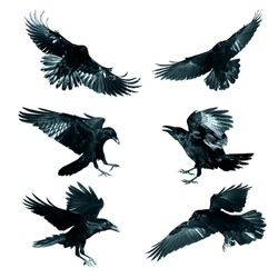 Bird - flying Common Ravens (Corvus corax) isolated on white background. Halloween - mix six birds