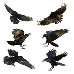 Bird - flying Common Ravens (Corvus corax) isolated on white background. Halloween - mix six birds