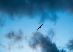 Bird Flying in dark clouds. View of silhouette of flying seagull. Bird flies over the Sea. Flight of bird. Seagull hovers in clouds. Gull hunting down fish.
