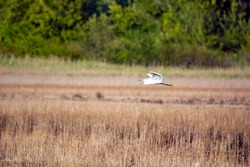 Bird flying in the Palud ornithological reserve swamp, Istria peninsula, near Rovinj, Croatia