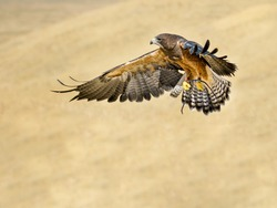 Bird flying while getting ready to go in to hunt it's prey