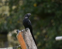 Bird Garrapatero Común, Crotophaga ani, colombia