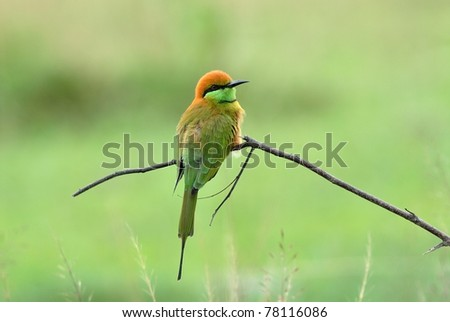 Bird (Green Bee-eater)