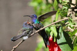 bird hummingbird feeding its chick