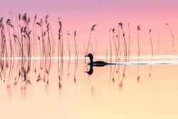 Bird in evening lights on lake Asnen