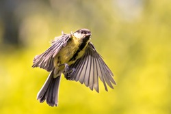Bird in Flight. Great tit (Parus major) in mid air just before landing with folded wings and feathers on green garden background