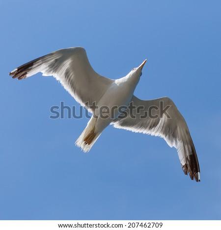Bird In Flight. Sea bird seagull (Larus Argentatus)