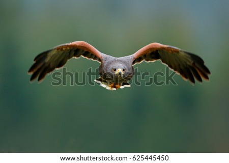 Shutterstock Bird in fly. Harris Hawk, Parabuteo unicinctus, landing. Wildlife animal scene from nature. Bird, face flyght. Flying bird of prey. Wildlife scene from Mexico nature. Mexico, wild forest.