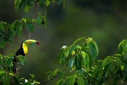 Bird in habitat. Keel-billed Toucan, Ramphastos sulfuratus, bird with big bill sitting on branch in the forest, Costa Rica. Nature travel in central America. Beautiful bird in nature habitat.