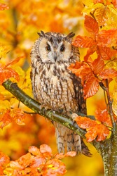 Bird in orange forest, yellow leaves. Long-eared Owl with orange oak leaves during autumn. Wildlife scene from nature, Sweden.